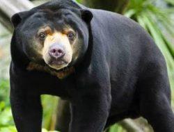 Beruang Madu di Taman Kelempiau Sekadau Dikabarkan Keluar dari Kawasan Hutan