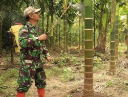 Keren! Bintara Kodim Mempawah Ini Budidayakan Pohon Pinang Hampir 2 Hektare